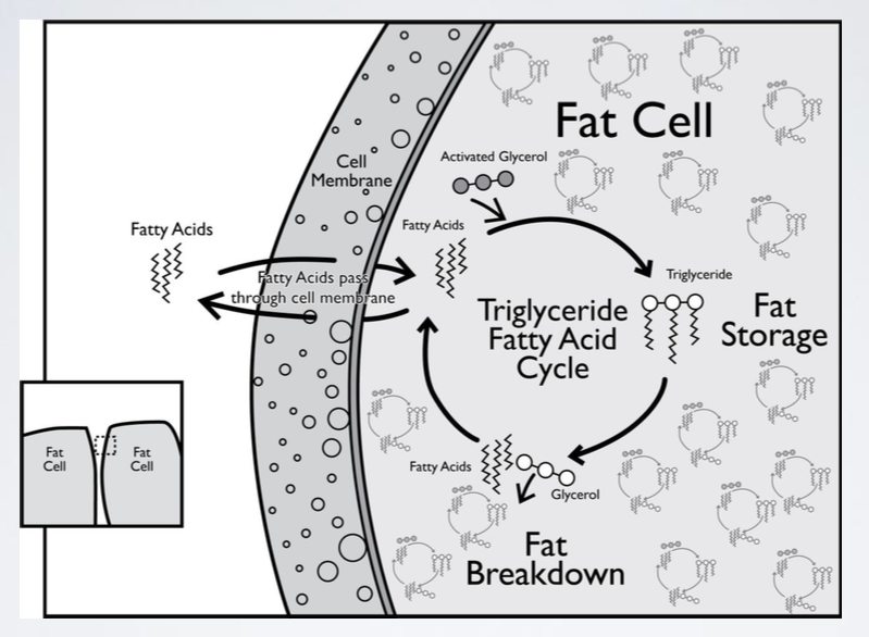 Fat Cell Storage